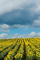 Daffodil farm, Vancouver Island, British Columbia, Canada.