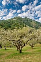 plum blossom garden