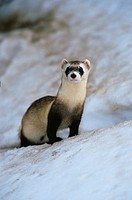 Black_Footed Ferret in Snow