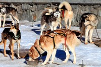 sleddog, cani da slitta, cogne, valle d´aosta, italia