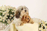Havanese dog and puppy