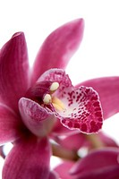 Pink orchid flower close_up