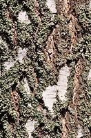 Cortex Birch