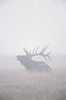Elk Bugling in Foggy Meadow
