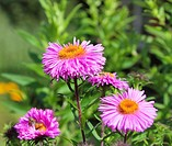 flowers aster