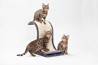 Bengal Cats, kittens, 8 weeks / scratching post