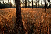 A healthy longleaf pine forest, resulting from regular controlled burning of non_indigenous brush.