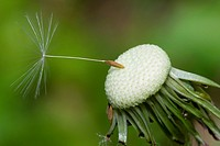 Close up of a spent Dandelion