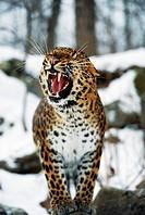 Amur Leopard Snarling