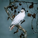 Albino Red_Tailed Harrier Perched on Branch
