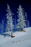 Snow_Covered Lodgepole Pines