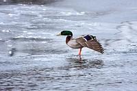Mallard looking Strange on Ice