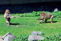 Two Japanese Macaque Fighting over a Stick.