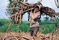 A sugarcane worker earning approximately $3 US a day carries a load of sugarcane.