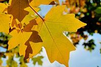 Autumn foliage against the sun