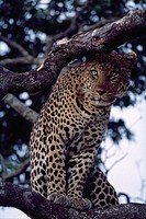A male leopard sits in an acacia tree in Kenya´s Masai Mara National Reserve.