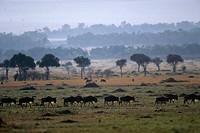 A herd of wildebeest migrate across Kenya´s Masai Mara wildlife reserve.