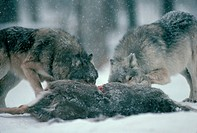 Captive gray wolves feed on a deer carcass in the Carlos Avery Wolf Colony. Many of the deers given to the wolves were killed by automobiles.