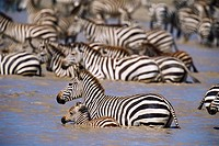 Zebra Herd Crossing Lake
