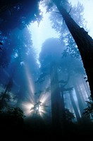 Sunlight in Redwood Forest