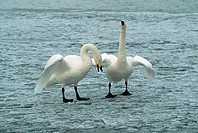 Whooper swans engage in a courtship dance at Lake Kutcharo in Akan National Park. Hokkaido, Japan