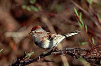 A sparrow perches on a branch in the the Arctic National Wildlife Refuge, Alaska.