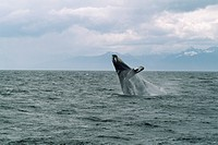 A humpback whale breaches in Frederick Sound, Alaska