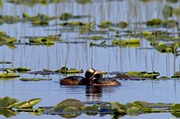 Horned Grebes Among Lily Pads on Lake