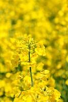 Brassica napus rapeseed oilseed rape blossom