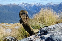 Kea, the worlds only alpine parrot, Nestor notabilis Dusky Sound Fiordland New Zealand