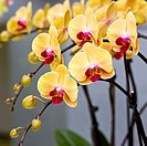 Beautiful yellow orchid _ phalaenopsis