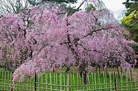 A plum bloosum tree in full bloom inside the Imperial Palace