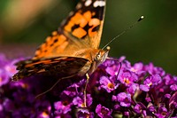 Painted Lady drinking