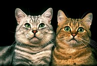 Brown Tabby and Silver Tabby Domestic Cat, Portrait of Adults against Black Background