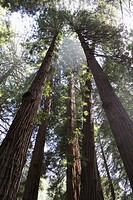 Sequoia sempervirens at Muir Woods National Monument, The monument is one of the last old growth Coastal Redwood Forests remaining in the San Francisc...