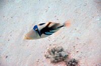 Picasso Triggerfish
