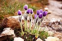 Mountain flowerPulsatilla taurica