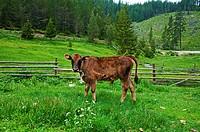 Brown young calf