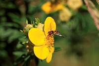 hoverfly Syrphe syrphidae