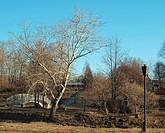 The bridge and poplar