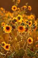 Crespellano (Bologna, Italy): sunflowers in a field at sunset