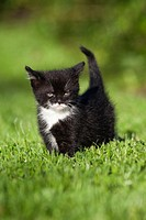 Kitten, walking in garden lawn, Lower Saxony, Germany