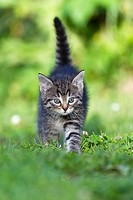 Kitten, walking across garden lawn, Lower Saxony, Germany