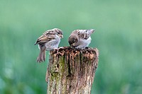 House Sparrow Passer domesticus, two feldgelings on fence post, Lower Saxony, Germany