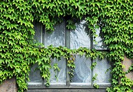 old window overgrown with green creeping plant