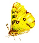 Painting of yellow butterfly over white background