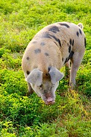 Female pig, sow. Montana, USA