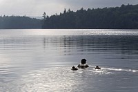 Common loon and chicks swimming in early morning light, Algonquin Park, Ontario, Canada