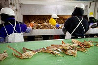 Cannery workers process Tanner Crab on the slime line at Alaska Fresh Seafoods, Kodiak, Southwest Alaska, Winter