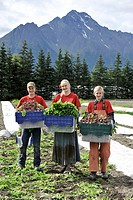 Pickers carry full crates of vegetables at an organic farm in the Matanuska Valley near Palmer, Southcentral Alaska, Summer